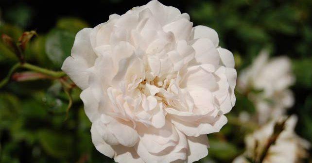 Бяла маслодайна роза