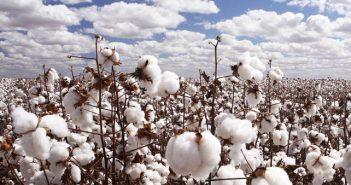 Отглеждане на памук