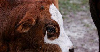 Bovine Respiratory Disease