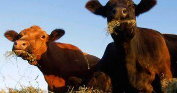 Крави
