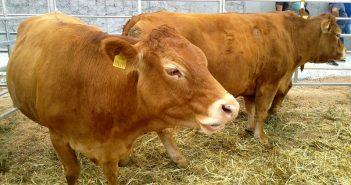 Говеда, крави