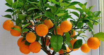 Как да отгледаме мандарина от семка в домашни условия