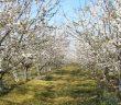 Черешови градини Санторелли
