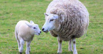 Овце, размножаване, агнене