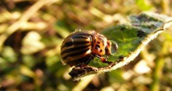 Колорадски бръмбар