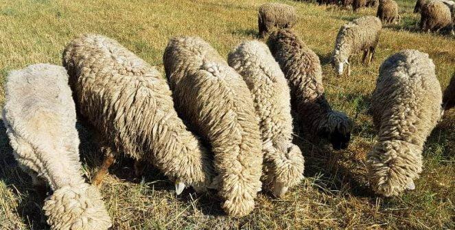 Бели маришки овце