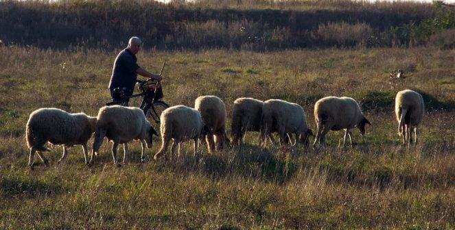 Овце, антракс