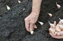 Засаждане на чесън