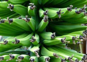 Зелени банани