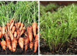 Моркови и копър