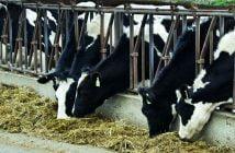Крави силаж