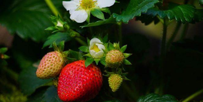 8 важни правила за добри и богати реколти от ягоди