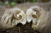 Седми национален събор на овцевъдите