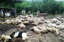Овце чума евтаназия Странджа