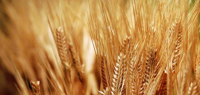 Богата реколта от зърно очакват българските земеделци