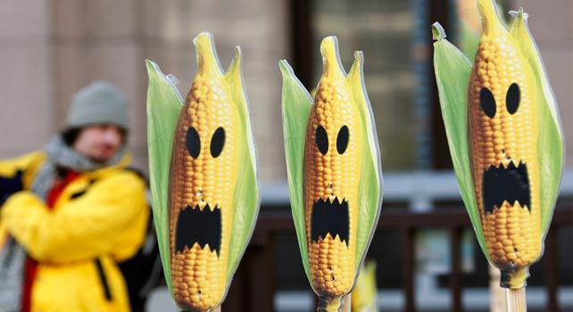 ГМО царевица