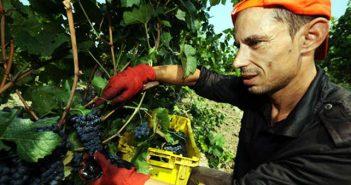 Македония грозде