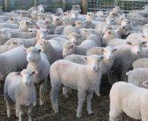 Пазарът на български агнета се срина с изкупна цена от 4 лева за килограм