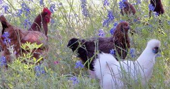 Кокошки, пилета, билки