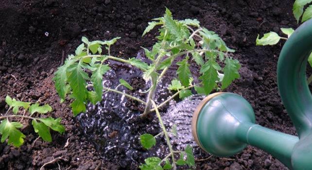 Наторяване на домати