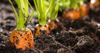 Засяване на моркови