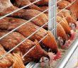 Птицевъдство кокошки