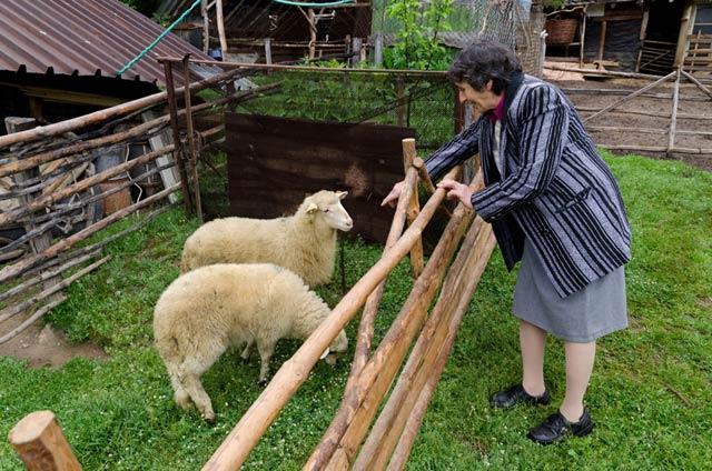 Средностаропланинска порода овце