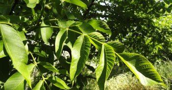 Орехови градини