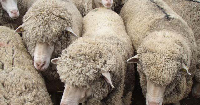 Овцевъдите без регистрация по чл. 137 губят право на финансиране