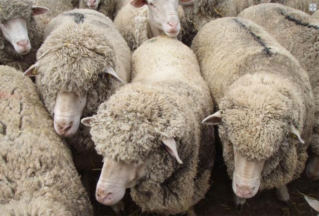 Овцевъдство