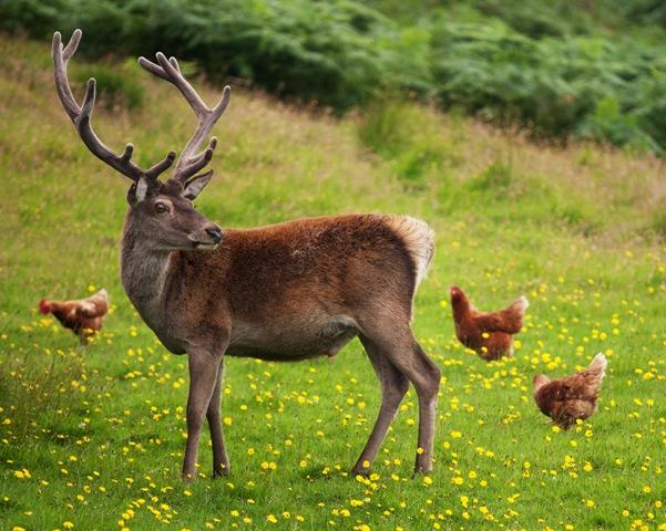 Ферми за елени