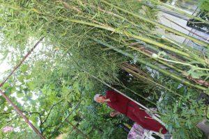Chicho Mitko sred bambuka