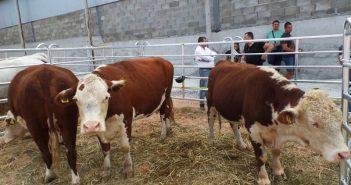 Разгонване, заплождане на крави