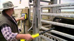 Идентификация на говедата