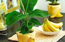 Банан джудже