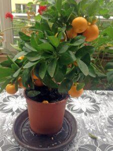 Домашна мандарина