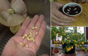 Семена от мандарина