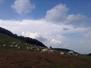Сиво искърско говедо