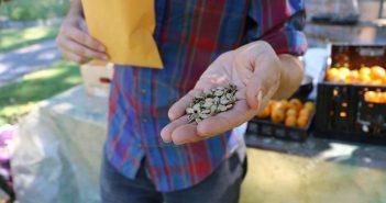Семена от растения Сирия