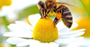 Смъртност при пчелите