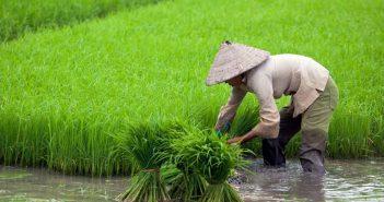 Ориз от Виетнам