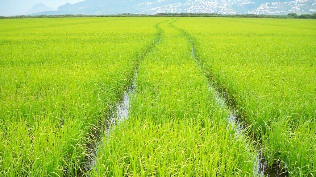 Производство на ориз в България