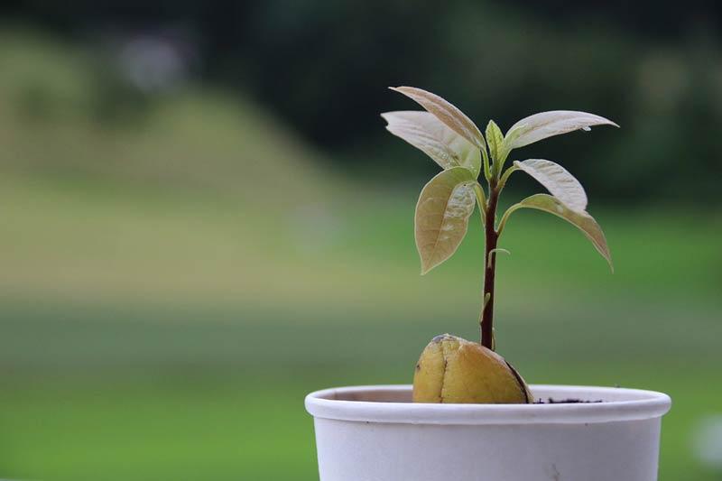 Авокадо в саксия