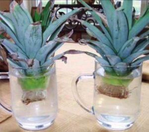 Размножаване на ананас
