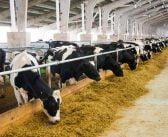 Ясни са ставките по Схемата за преходна национална помощ за говеда