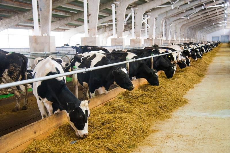 Крави фураж
