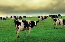Крави на паша