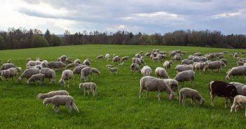 Овце в България