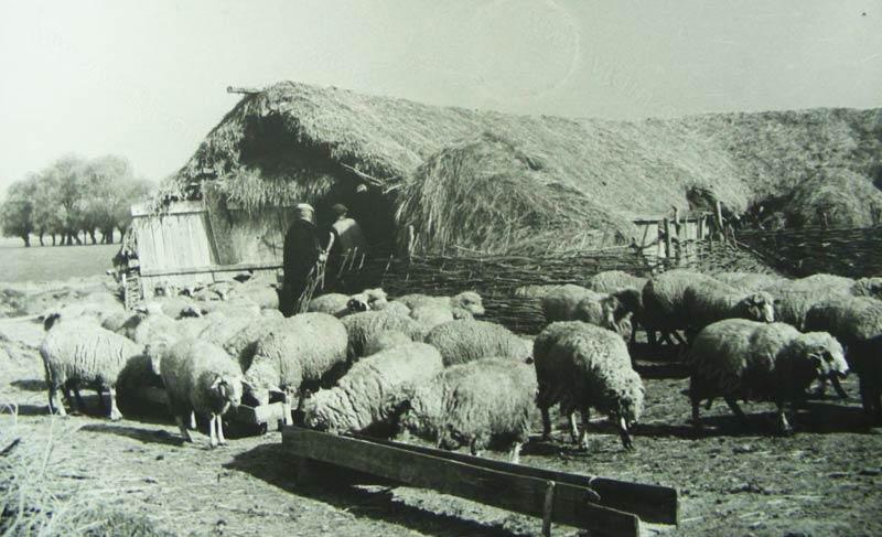 Овце в миналото