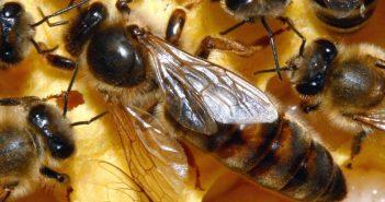 Пчела майка